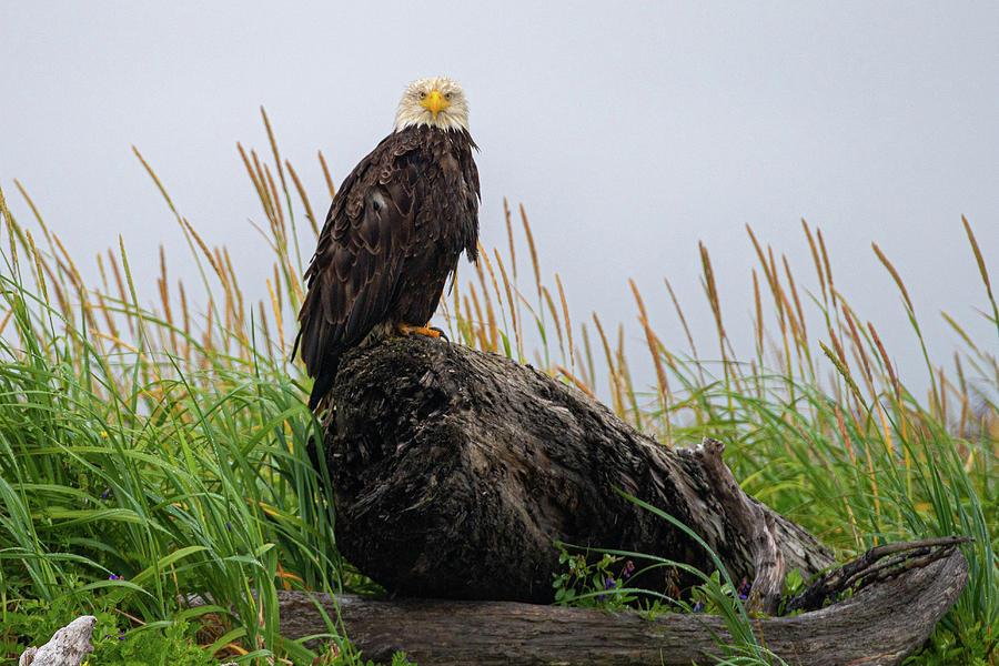 Bald Eagle in Katmai NP by Mark Hunter