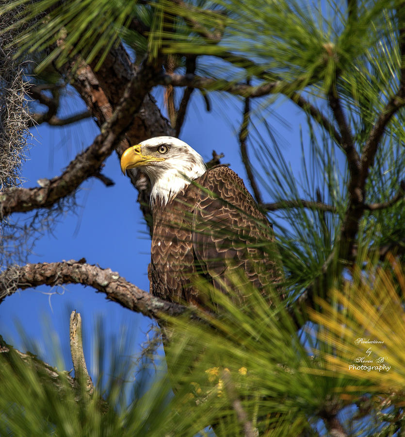 Bald Eagle in Pine Tree by Kevin Banker