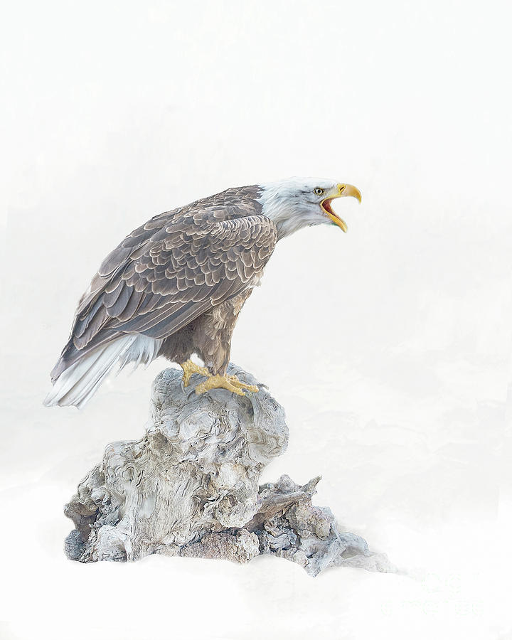 Bald eagle in winter snow by Brian Tarr