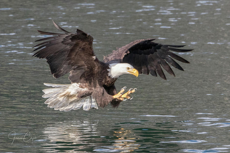 Bald Eagle  by James Capo