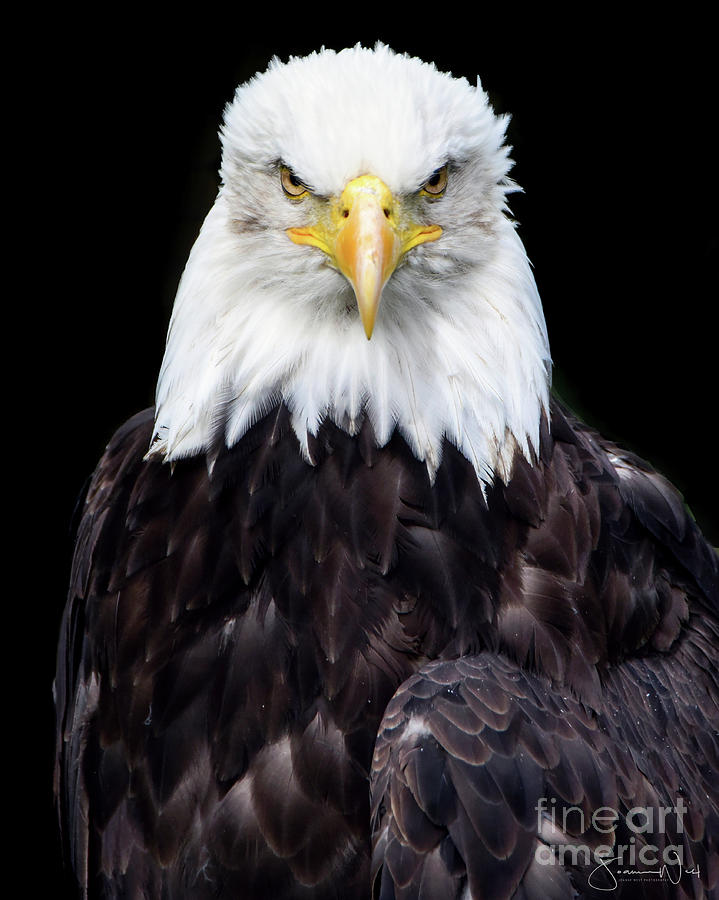 Bald Eagle by Joanne West