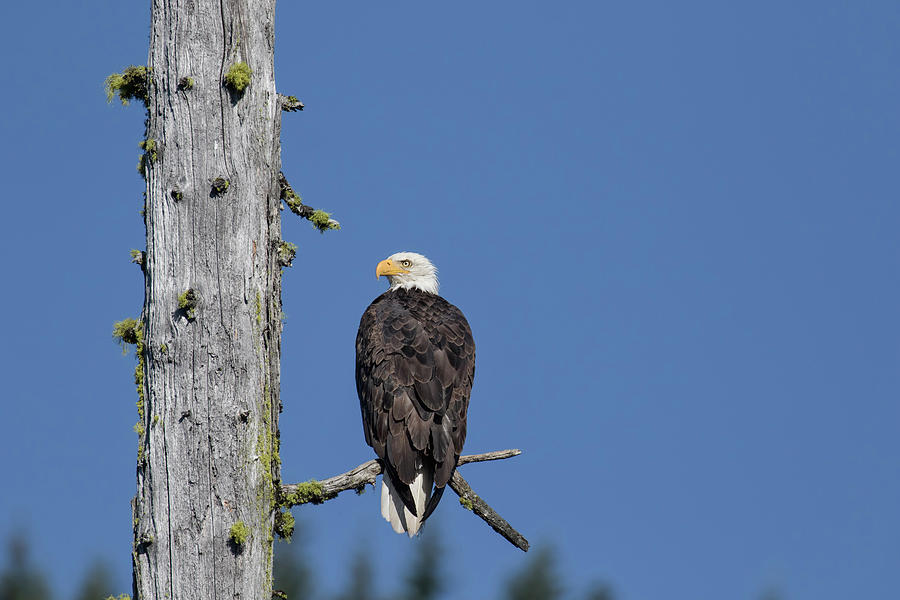 Bald Eagle on a Snag by Belinda Greb