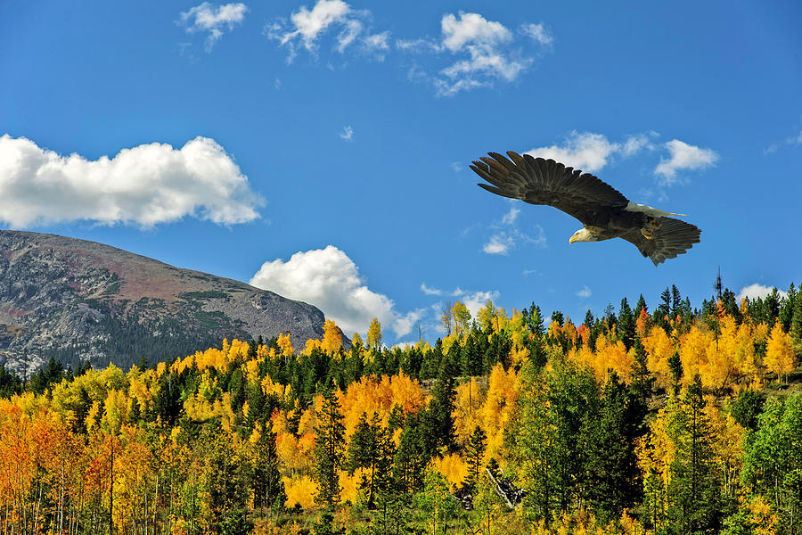 Bald Eagle over the Aspen by Stephen Johnson