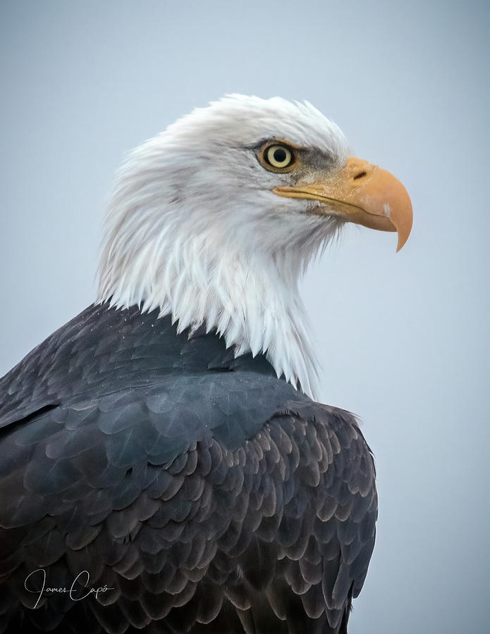 Bald Eagle Profile by James Capo