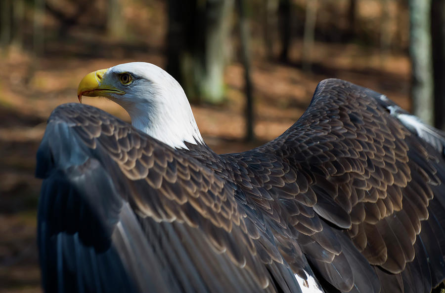 bald eagle ready to fly by Chris Flees