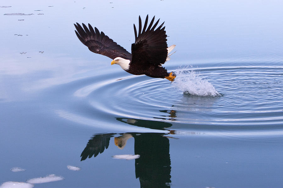 Bald Eagle Splashing In Dive Photograph by Mark Miller Photos