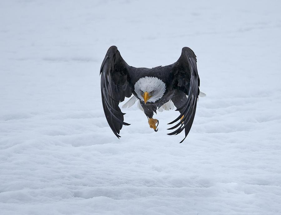 Bald Photograph - Bald Eagle Takeoff by Shlomo Waldmann