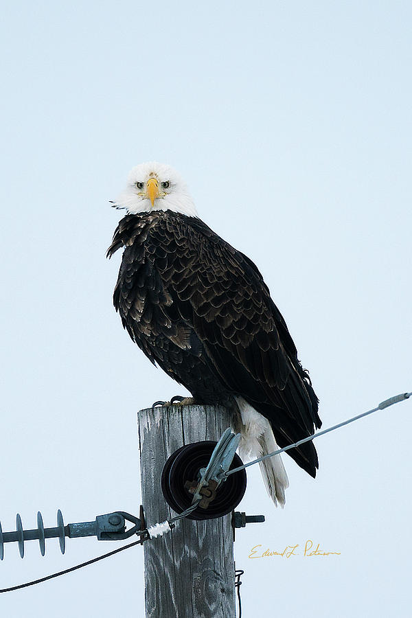 Bald Eagle Watching Me by Edward Peterson