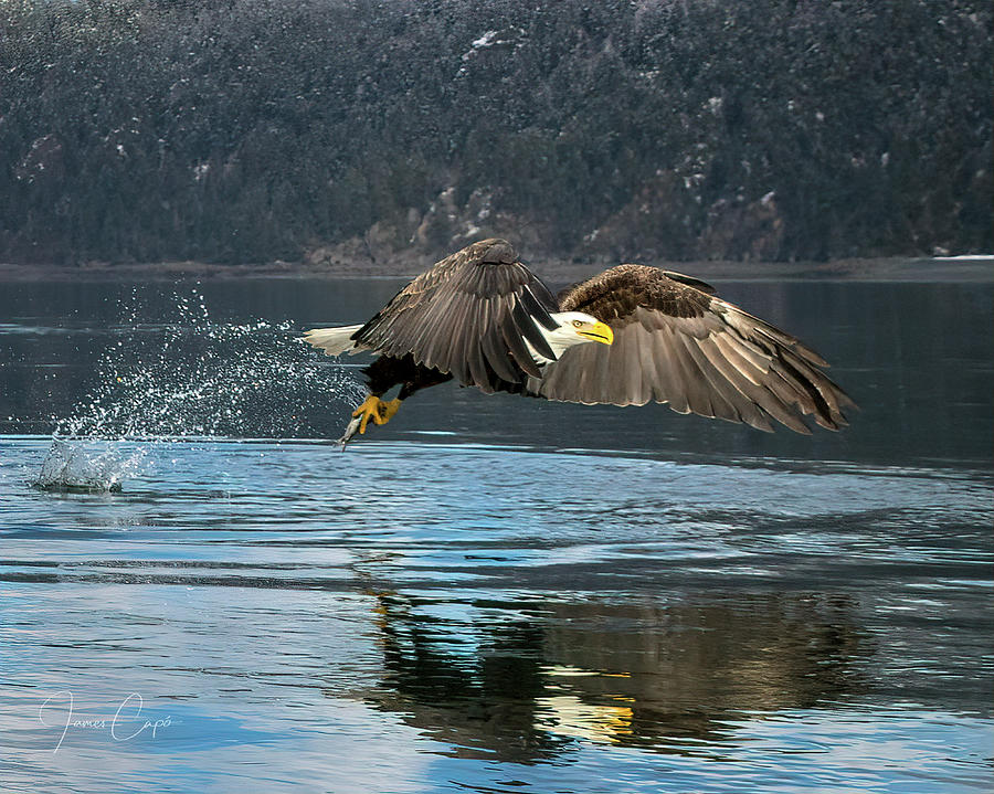 Bald Eagle with Catch by James Capo