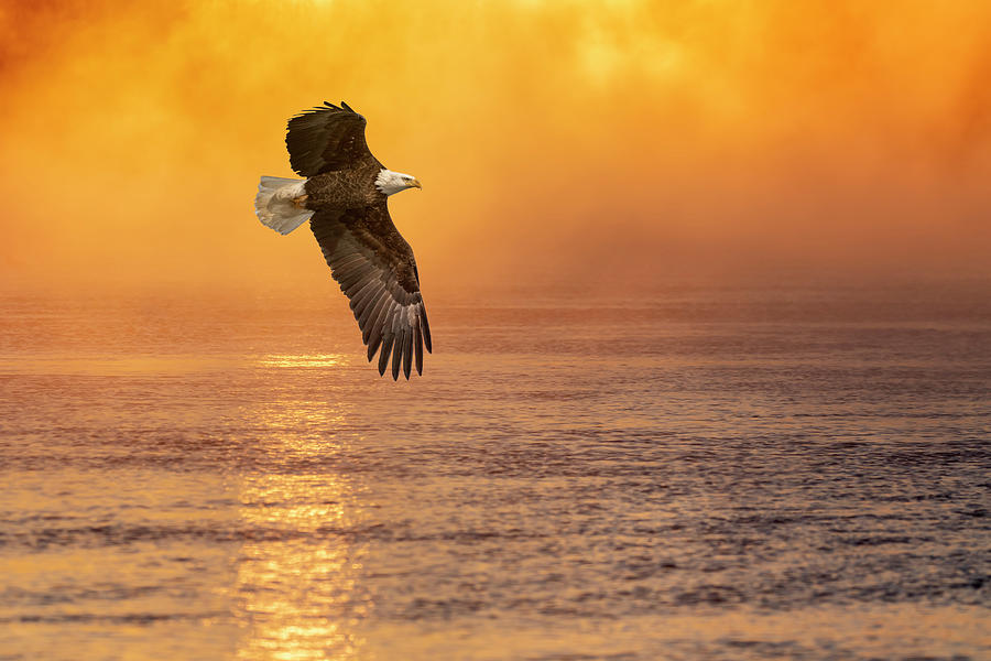 Bald Eagle With The Sunrise 2019 by Thomas Young