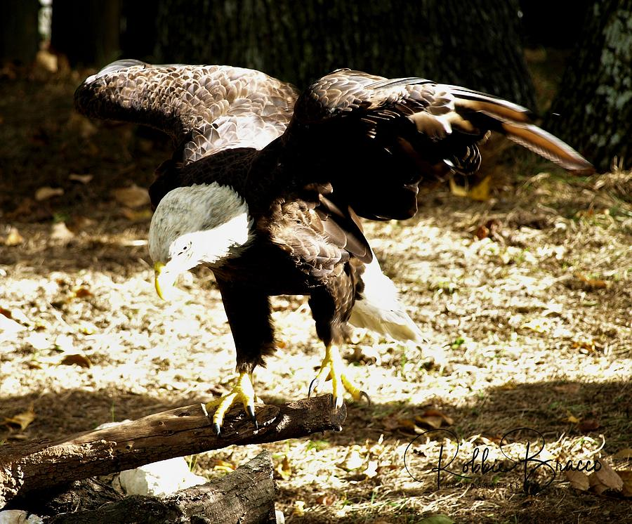 Bald Eagle With Wings Spread Perched On A Log by Philip Bracco