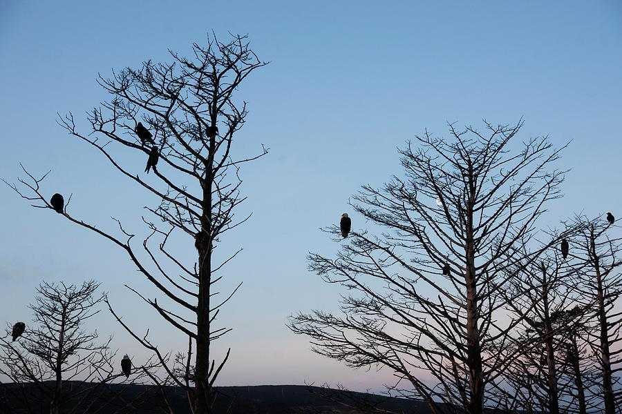 Bald Photograph - Bald Eagles Sand Point Alaska by Robert Braley