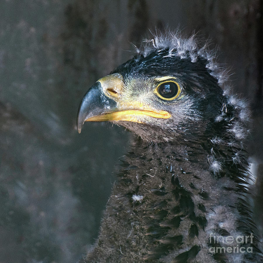 Bald Eaglet by Eyeshine Photography