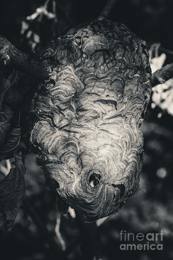 Bald Faced Hornets Hive. Black and White Photograph by Stephen Geisel