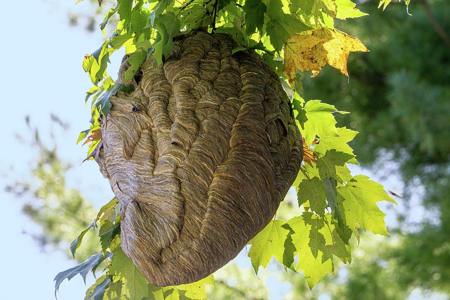 Bald-faced Hornets Nest by Jason Fink