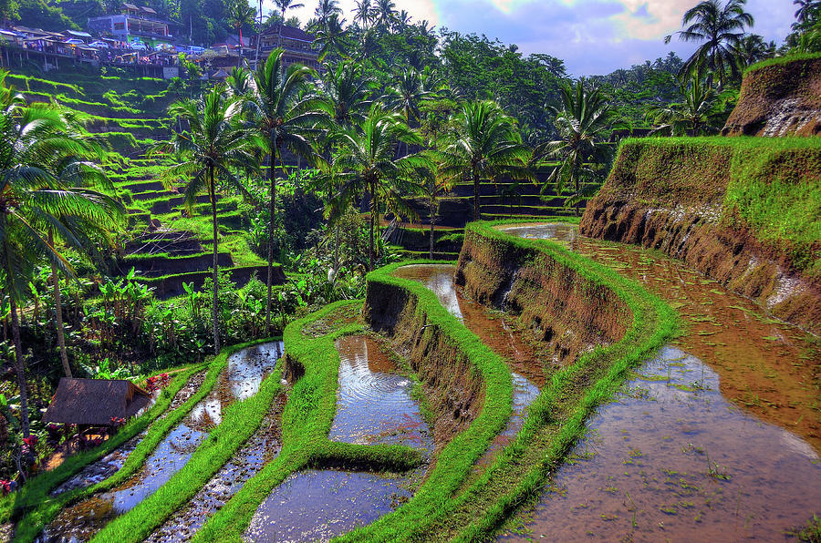Bali Rice Terraces Photograph by Aaron Geddes Photography