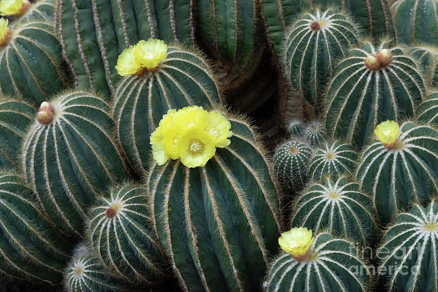 Ball Cactus in Flower by Tim Gainey