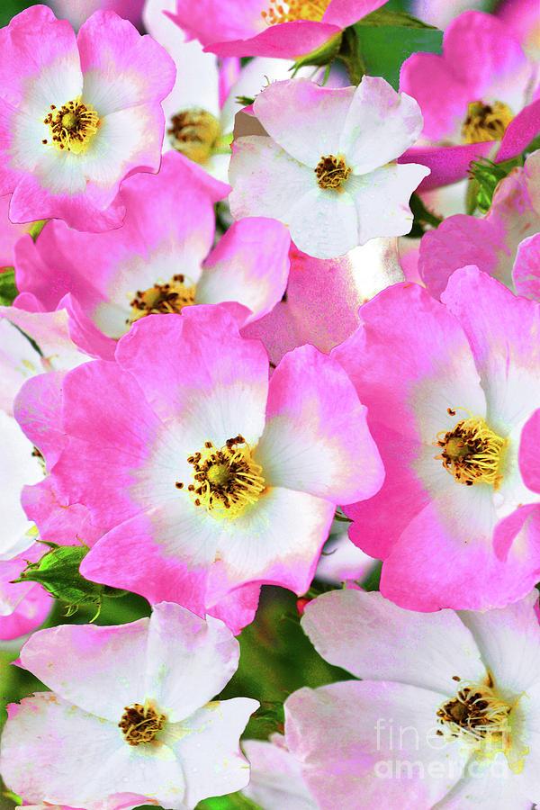 Ballerina Rose Blossoms Photograph