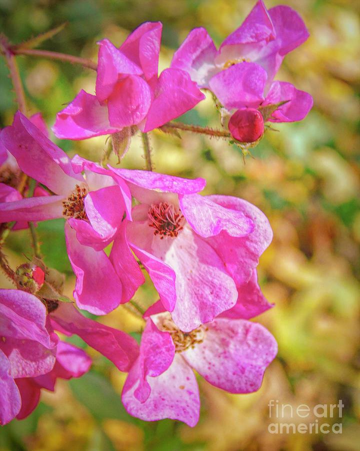 Ballerina Rose in Autumn by Susan Lafleur