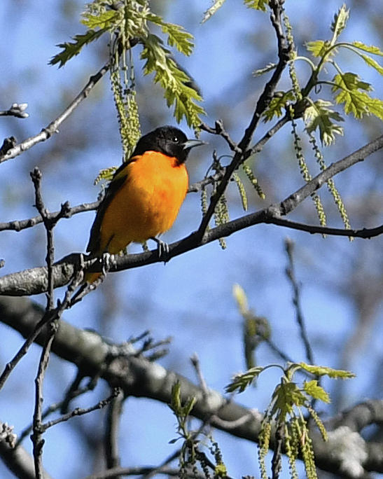 Baltimore Oriole by Hershey Art Images