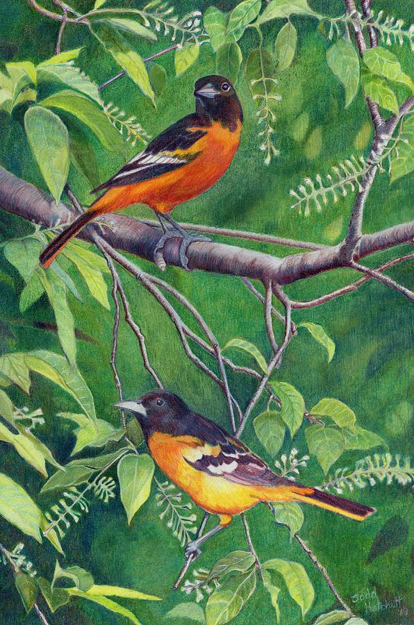Bird Drawing - Baltimore Orioles by Todd Hatchett