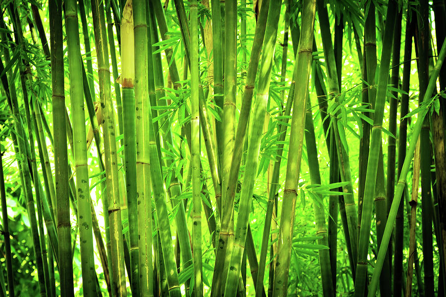 Bamboo Forest Photograph by Nikada