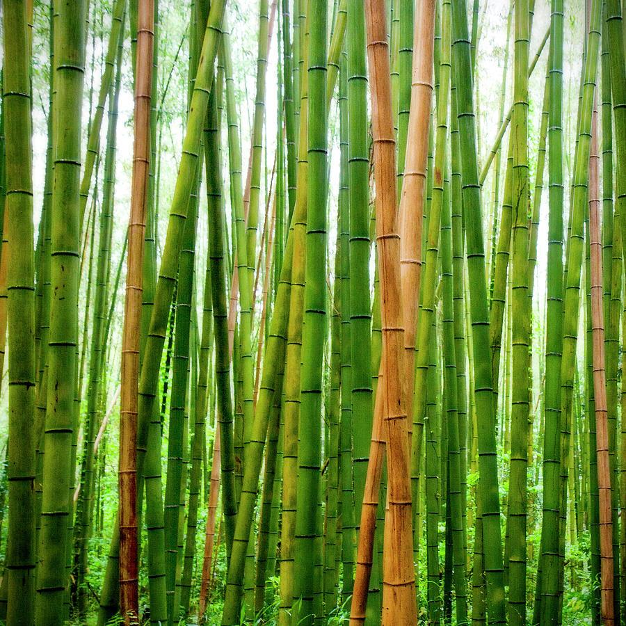 Bamboo Groves At Arashiyama, Kyoto Photograph by Photos By Jeremy Tan