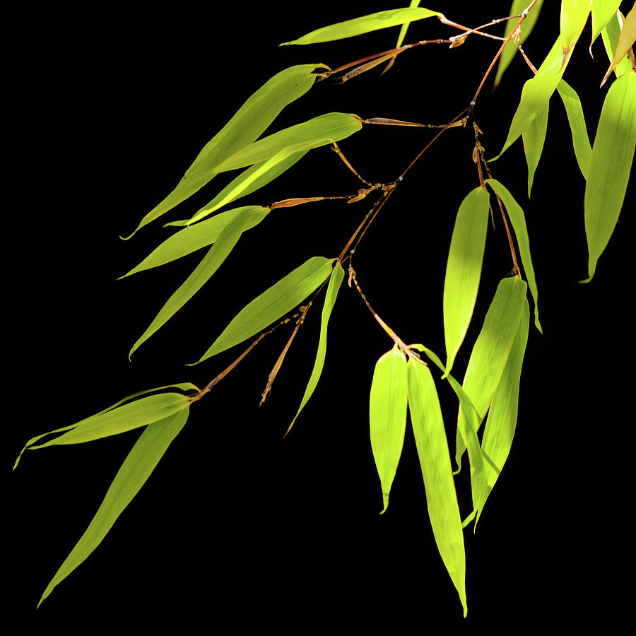 Bamboo Leaves 0580a by Mark Shoolery
