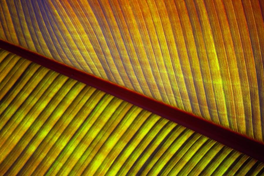 Banana Leaf 8603 by Mark Shoolery