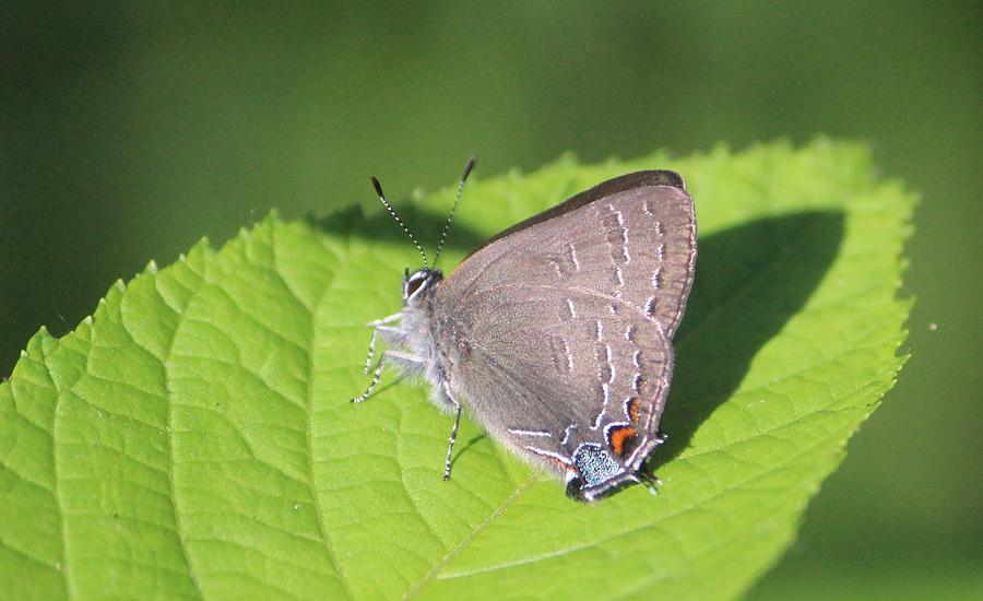 Banded Hairstreak Photograph - Banded Hairstreak by Callen Harty
