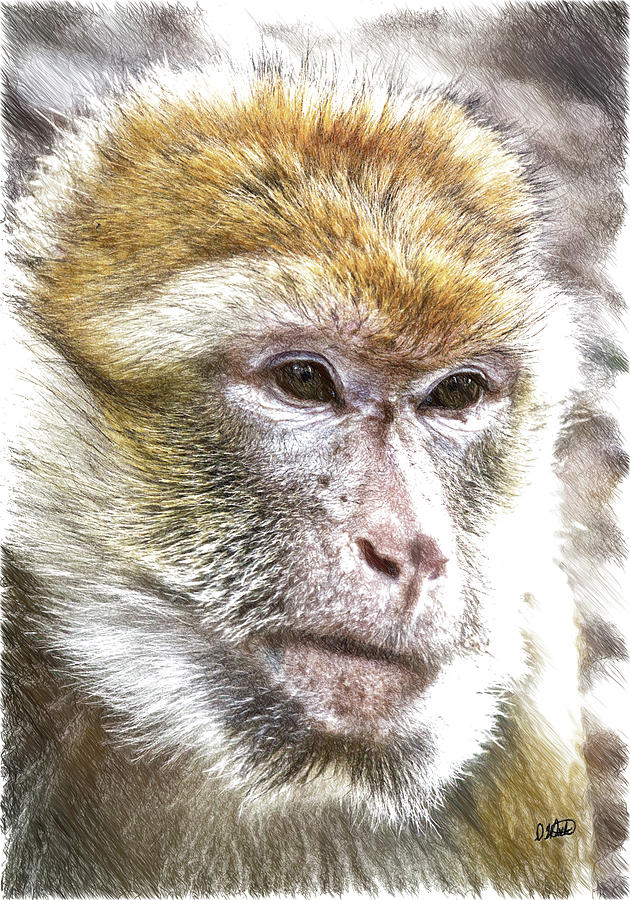 Barbary Ape - DWP3742926 by Dean Wittle