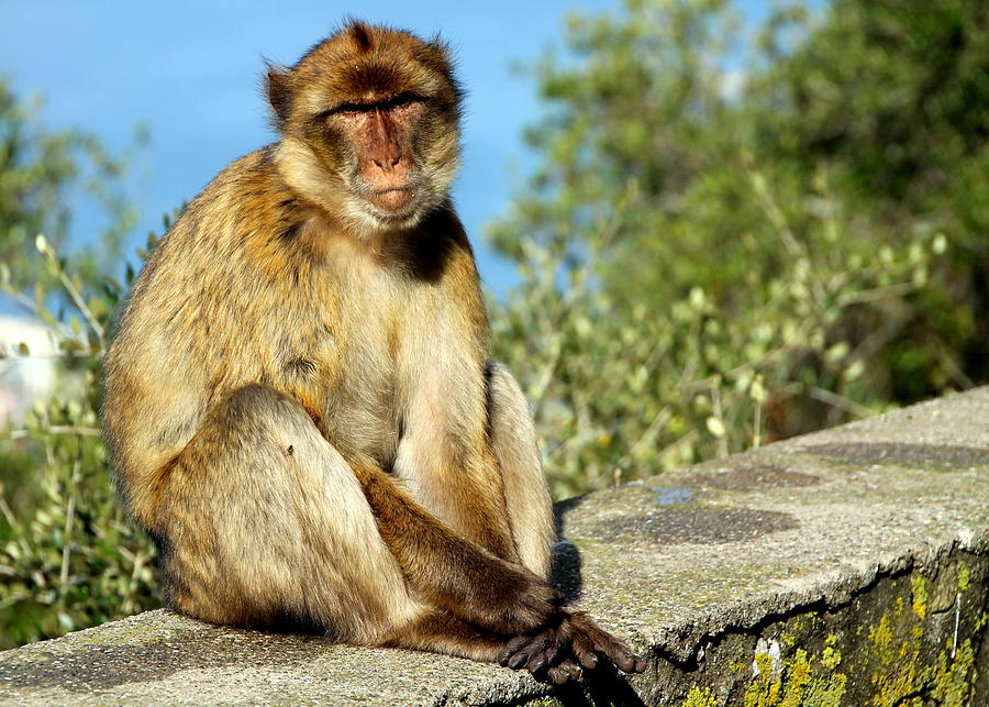 Barbary Macaque Posing for a Photo by Laurel Talabere