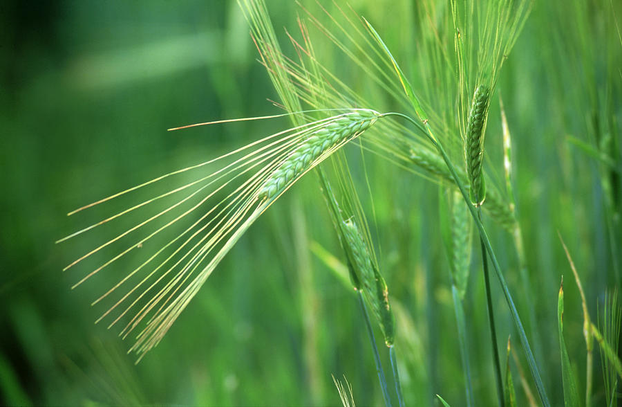 Image result for barley hordeum picture