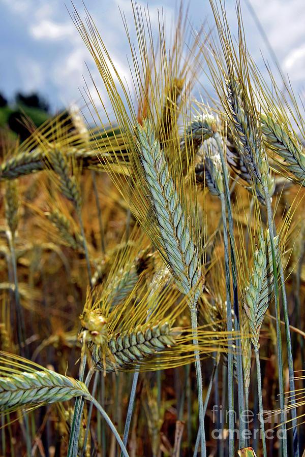 Barley Photograph - Barley Spikes by Tibor Tivadar Kui