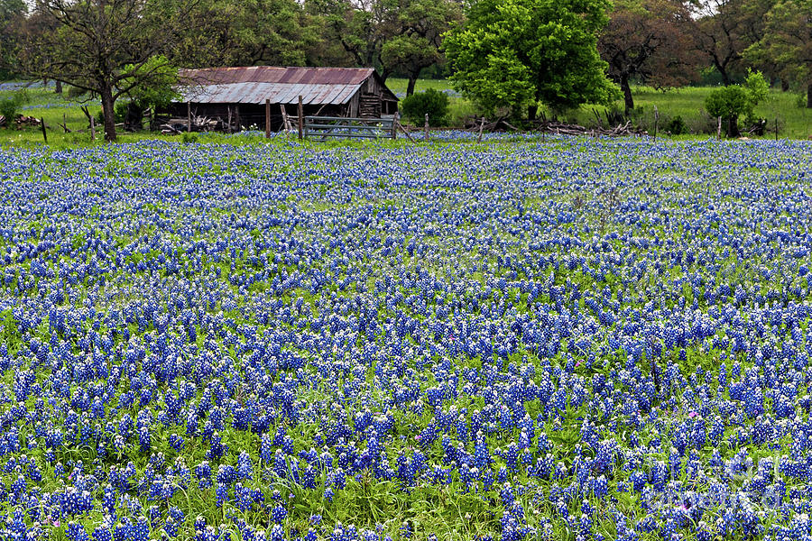 Barn and Bluebonnets by Patti Schulze
