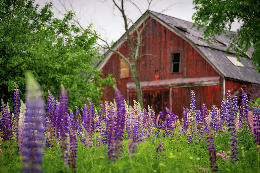 Barn and Lupines by Tim Kirchoff