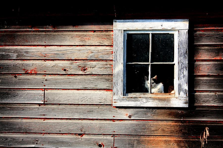 Barn Cat by David Matthews