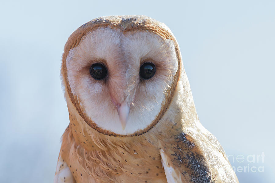 Barn Owl 5 by Chris Scroggins