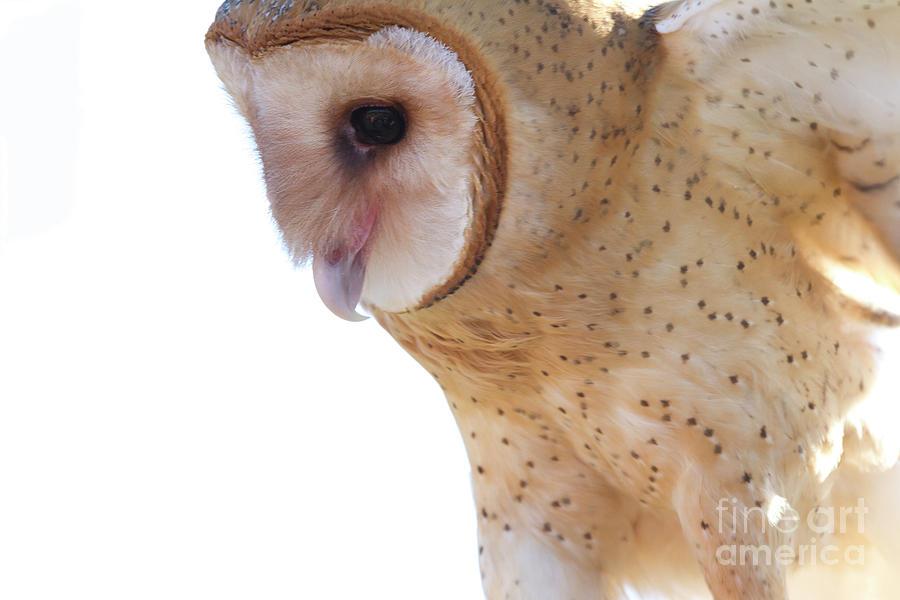 Barn Owl 6 by Chris Scroggins