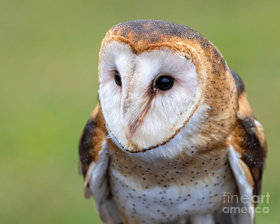Barn Owl by Alma Danison