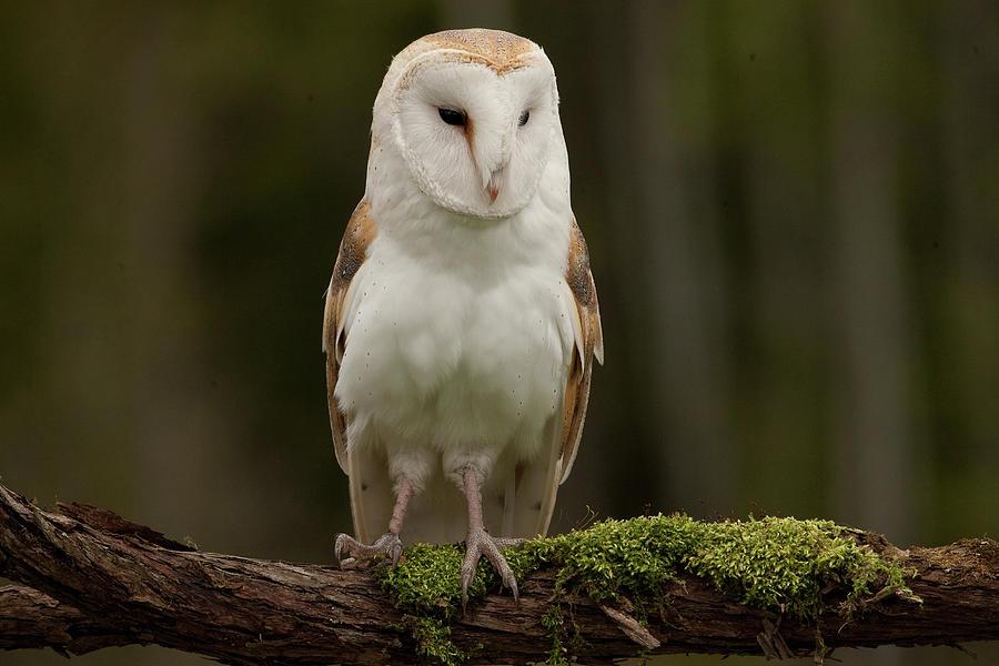 Barn Owl Captive Owl Photograph by Gord Sawyer