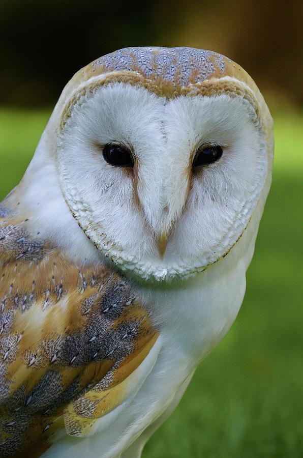 Barn Owl by Darren Weeks