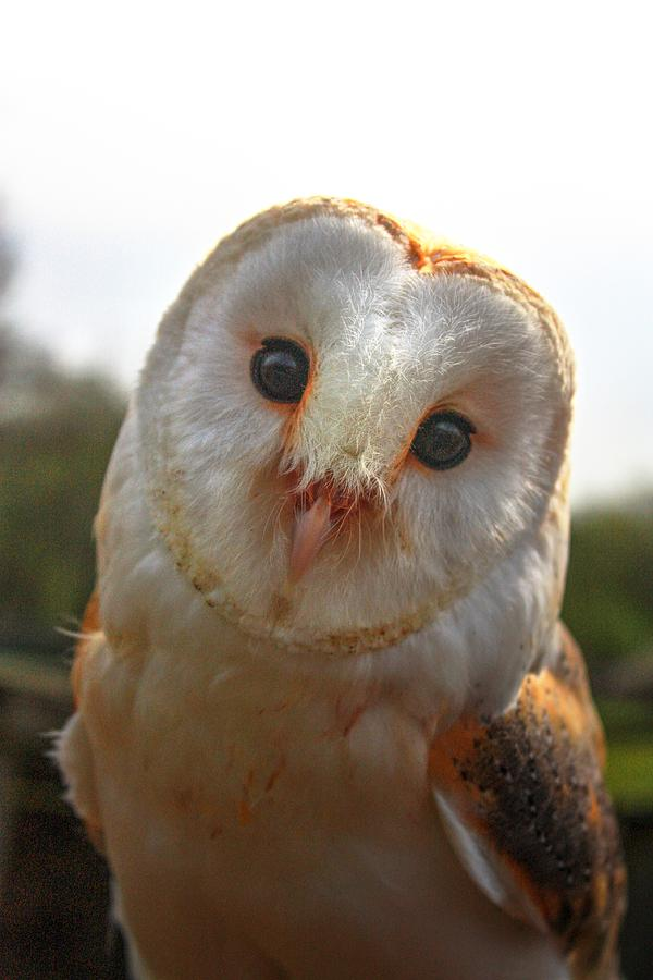 Barn Owl  by David Matthews