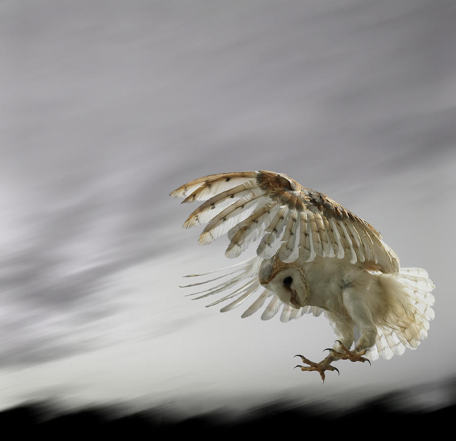 Barn Owl Flying Against And Overcast Sky Photograph by Digital Zoo