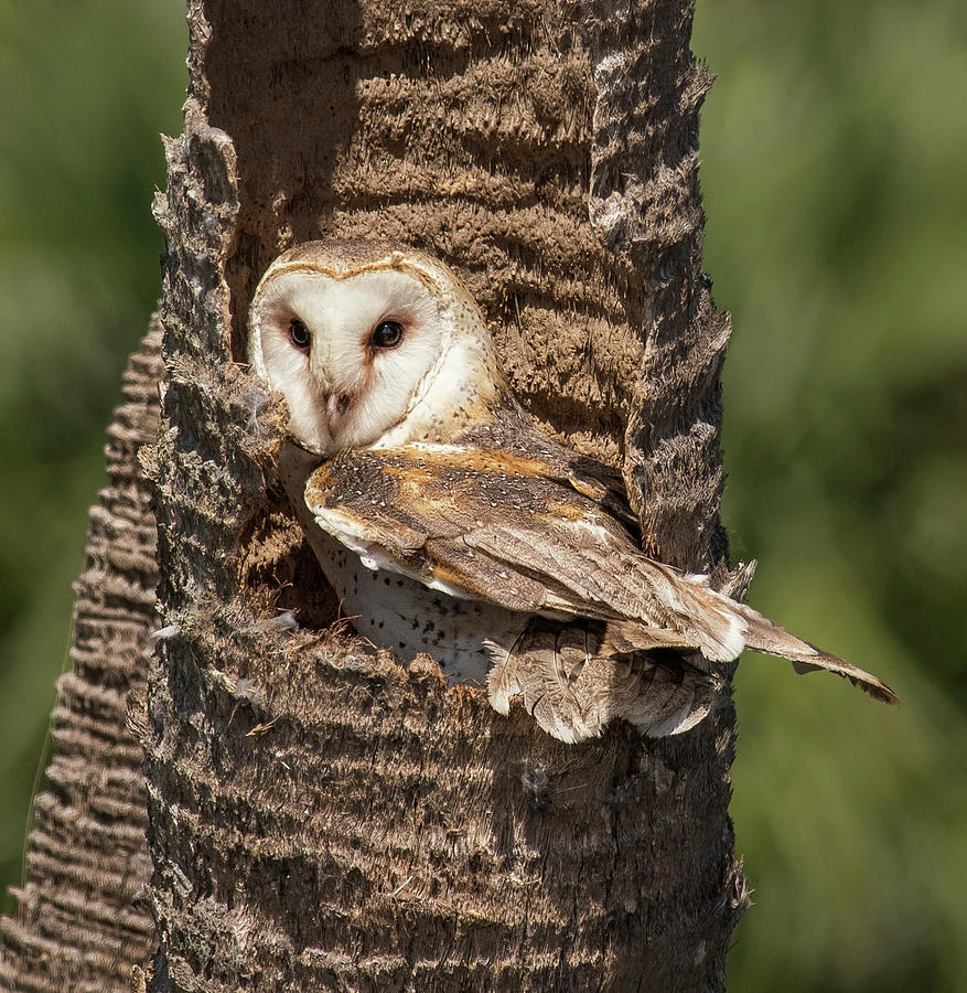 Barn Owl by Georgia Wilson