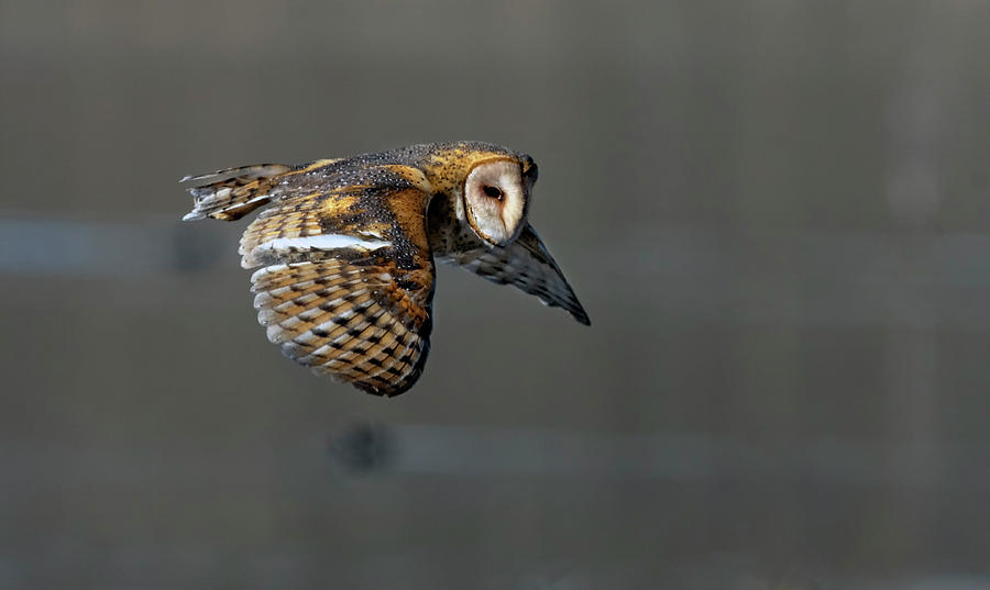 Barn Owl in flight 2 by Rick Mosher