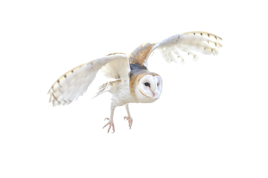 Barn Owl in Flight by Tom and Pat Cory