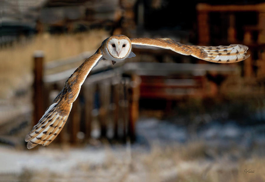 Barn Owl Incoming by Judi Dressler