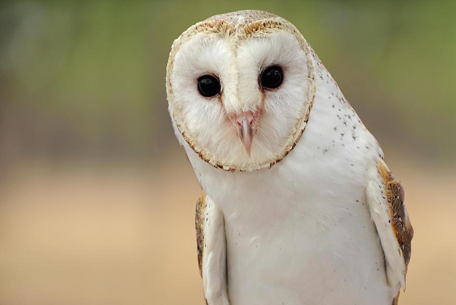 Barn Owl Photograph by Julie Fletcher