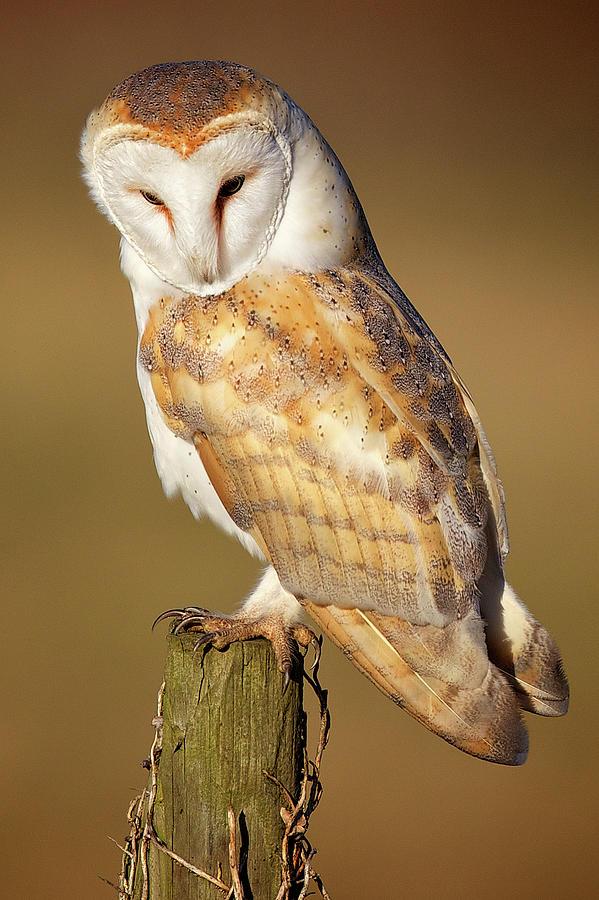 Barn Owl Photograph by Markbridger